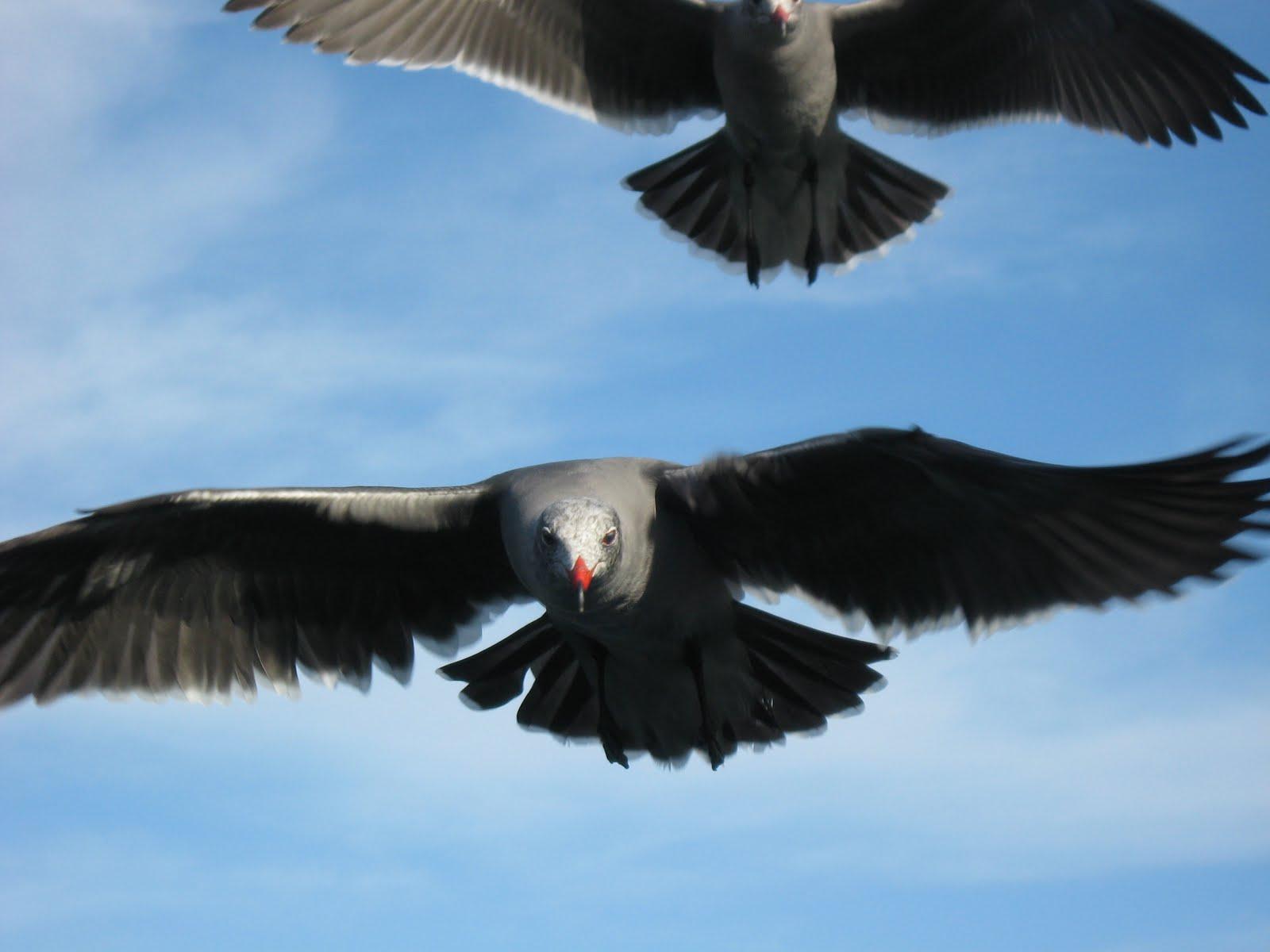 Gulls in San Carlos Dec 2009